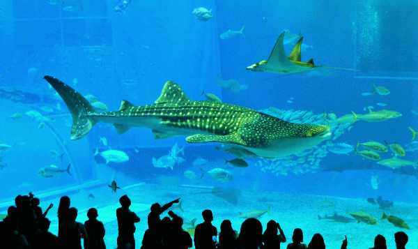 Things to do in Okinawa - Churaumi Aquarium shark tank - Poppin' Smoke